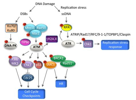 Schematic of the Ataxia-Telangiectasia Mutated (ATM), DNA